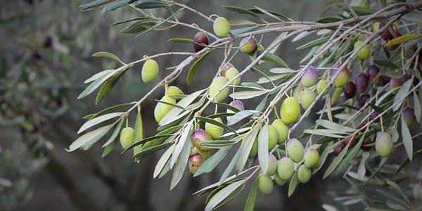 oliva aceite símbolo de Jaén