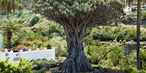 Drago Milenario Icod de los Vinos Tenerife