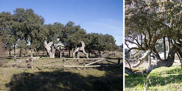 encina Madre o El Romo en Badajoz árbol longevo