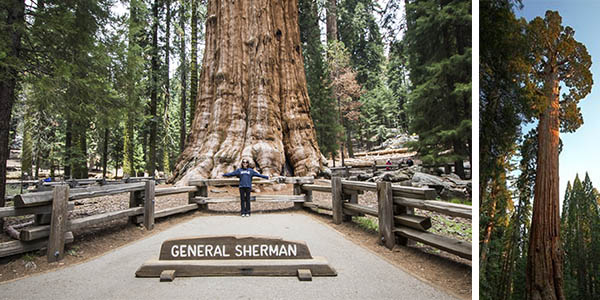General Sherman árbol secuoya longevo en California Estados Unidos