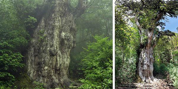 Jomon Sugi ciprés japonés más antiguo del mundo