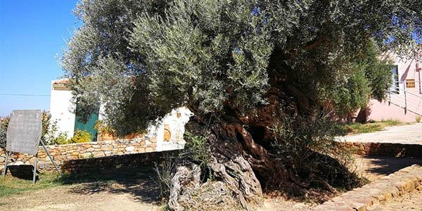 Olivo milenario Vouves en Creta