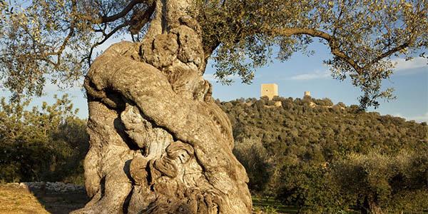 Olivos Milenarios territorio Senia Ulldecona