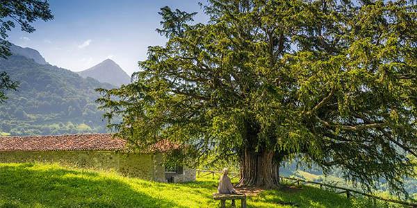Tejo Bermiego Asturias árbol milenario