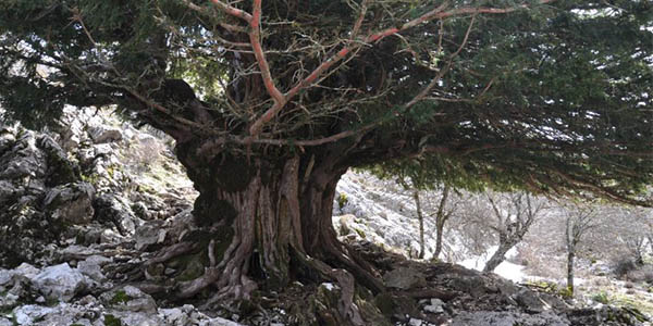 Tejos milenarios en la Sierra de Cazorla