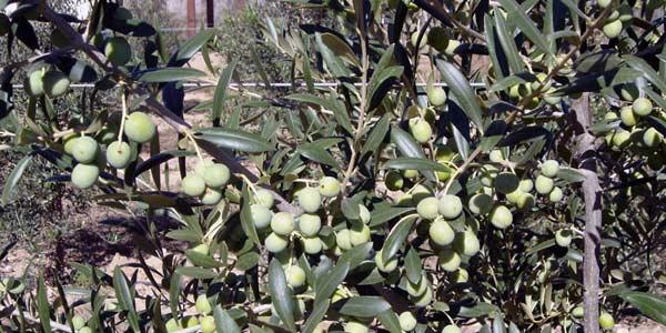 Garrafa de Aceite de oliva Virgen Extra Hacienda Ortigosa de 5L chollo en Amazon